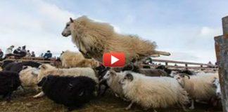Воинственная овца