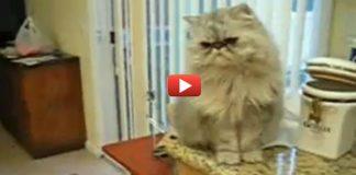 персидских кот