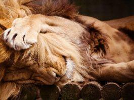 Львиная благодарность